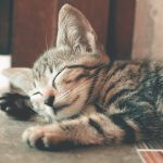 Nosówka u kota (koci katar) jak leczyć?