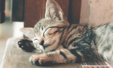 Nosówka u kota